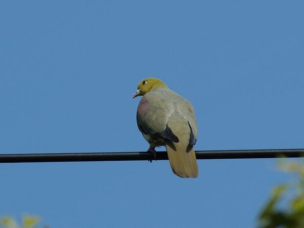 綠鳩照片 045
