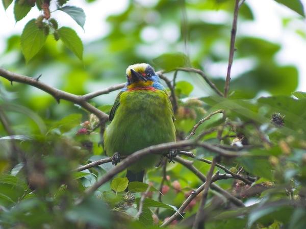 複製 -五色鳥P3144733-01