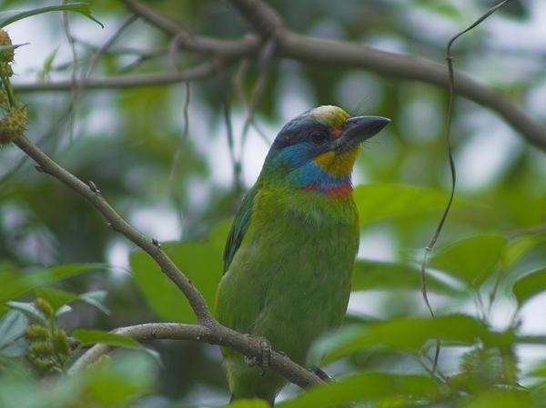 複製 -五色鳥P3144771-01