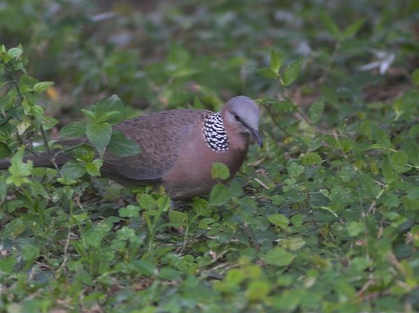 珠頸斑鳩P2224353