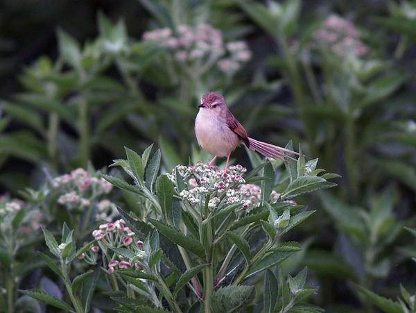 褐頭鷦鶯_P4238471