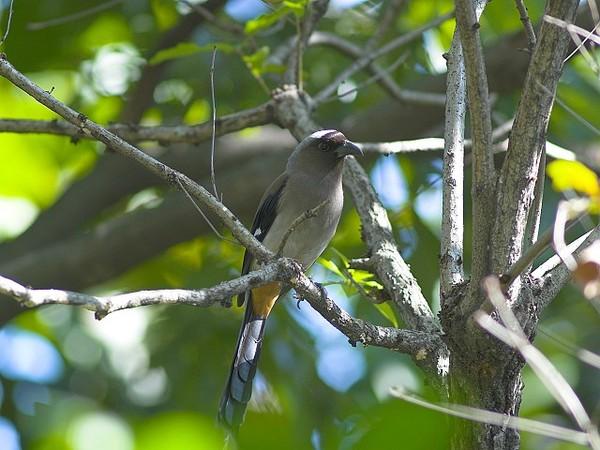 樹鵲P1203686