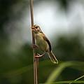 褐頭鷦鶯_P6020635