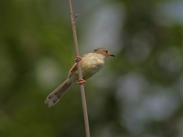 褐頭鷦鶯_P6020632