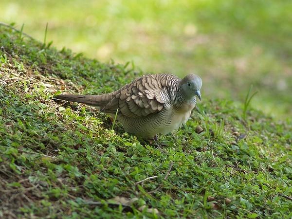Peaceful_dove_P9220207.jpg