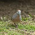 Peaceful_dove_P9220415.jpg
