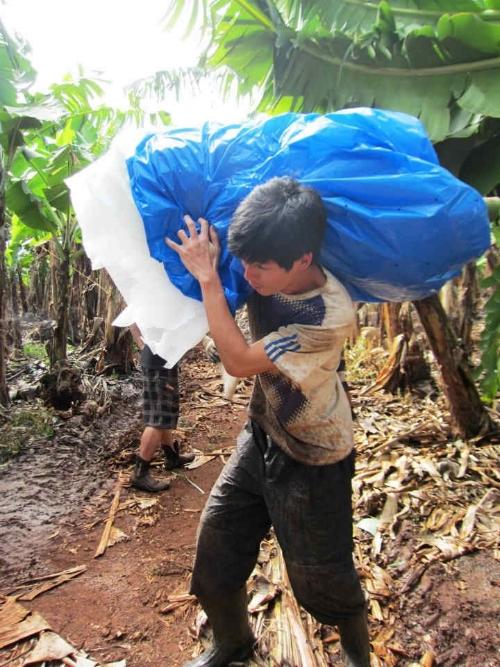 黃景廷在澳洲打工收割香蕉