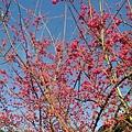 美麗櫻花.jpg