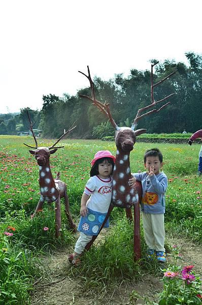 2011 1114 杭菊 004.jpg