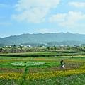 2011 1114 杭菊 006.jpg