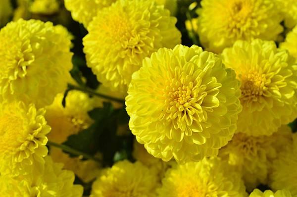 2011 1114 杭菊 035.jpg