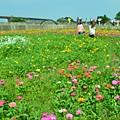 2011 1114 杭菊 050.jpg