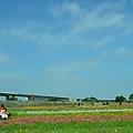 2011 1114 杭菊 051.jpg