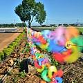 2011 1115 新社花況 028.jpg