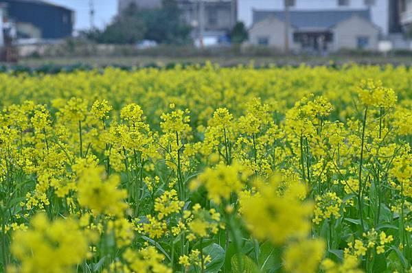 2012 0112 油菜花.jpg