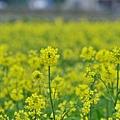2012 0112 油菜花 001.jpg