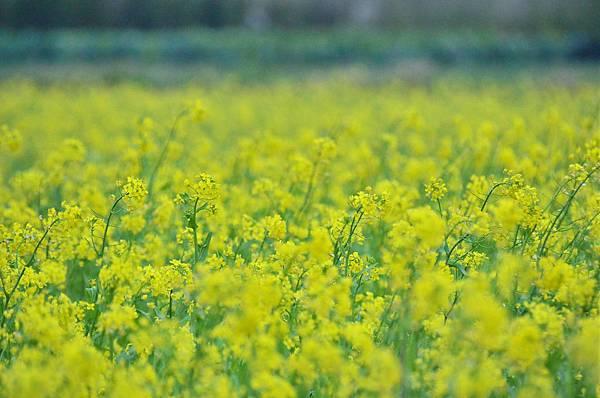 2012 0112 油菜花 007.jpg