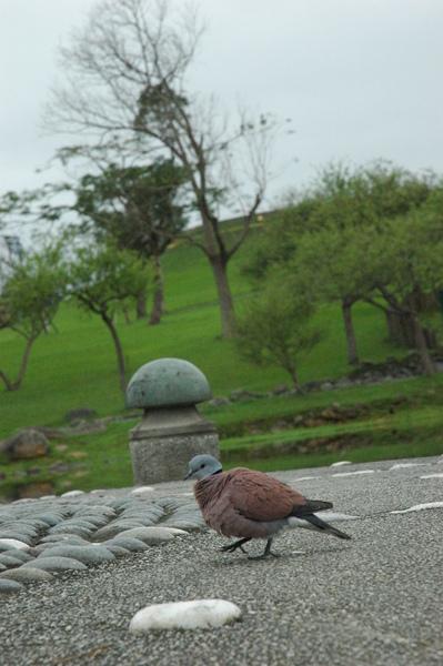 0227 839-不怕生的斑鳩.jpg
