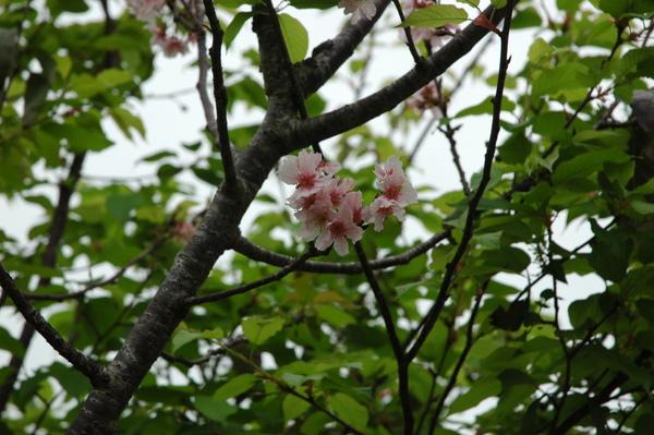0227 873-櫻花開.jpg
