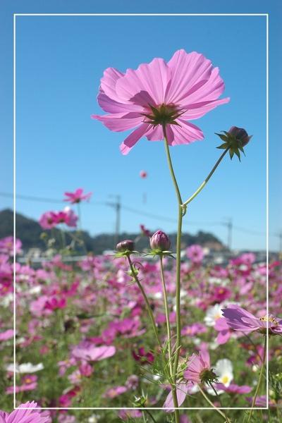1125-新社花海 49.jpg