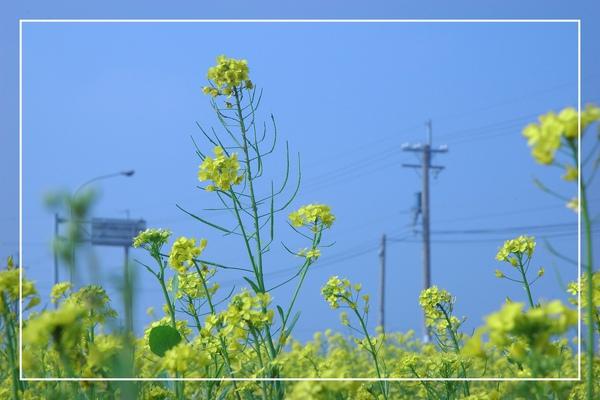 2010 油菜花 (3).jpg