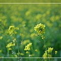 2010 油菜花 (4).jpg