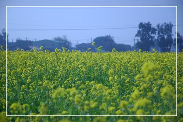 2010 油菜花 (6).jpg