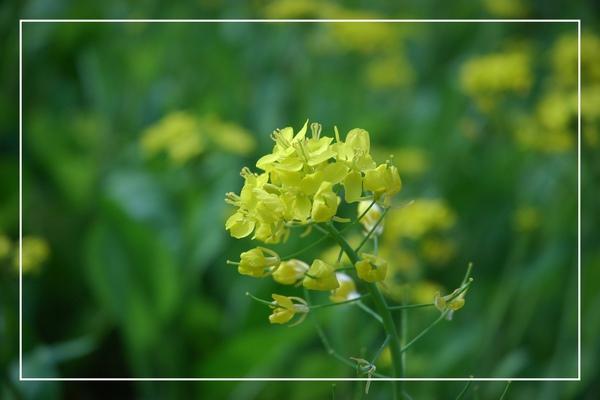 2010 油菜花 (8).jpg