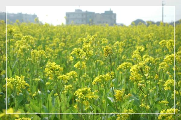 2010 油菜花 (13).jpg