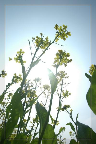 2010 油菜花 (16).jpg