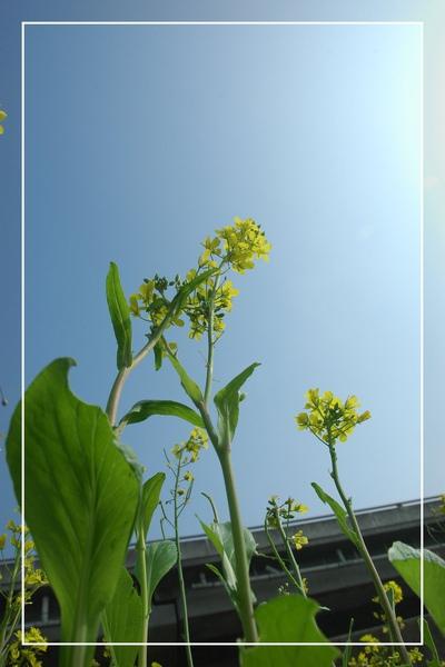 2010 油菜花 (17).jpg