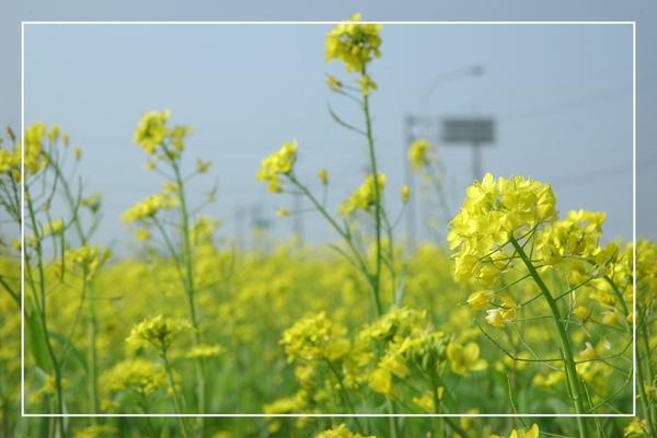 2010 油菜花 (26).jpg