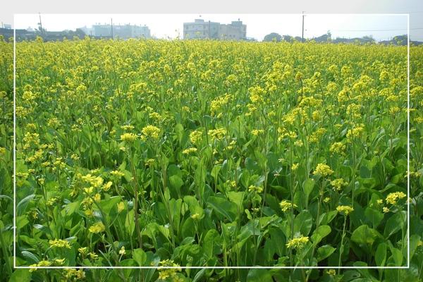 2010 油菜花 (27).jpg