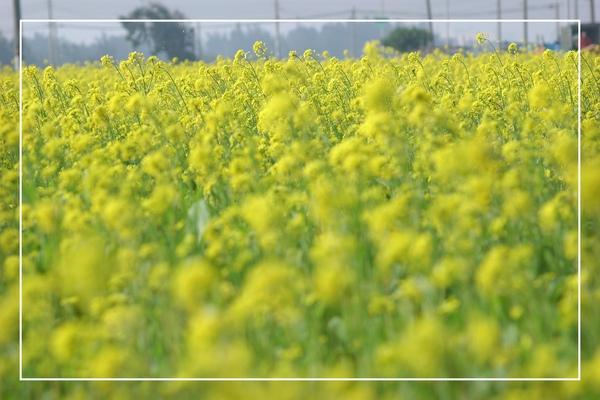 2010 油菜花 (30).jpg