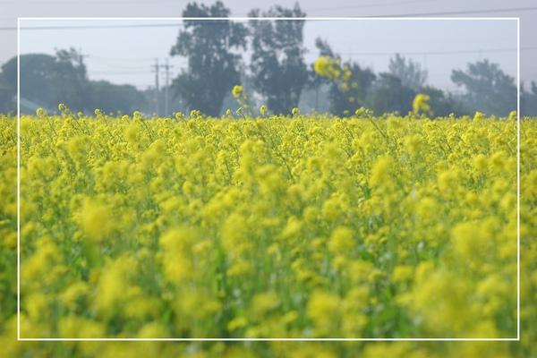 2010 油菜花 (31).jpg