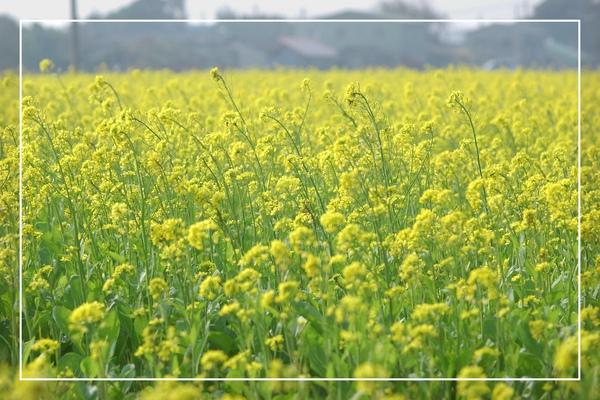 2010 油菜花 (32).jpg