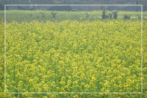 2010 油菜花 (36).jpg