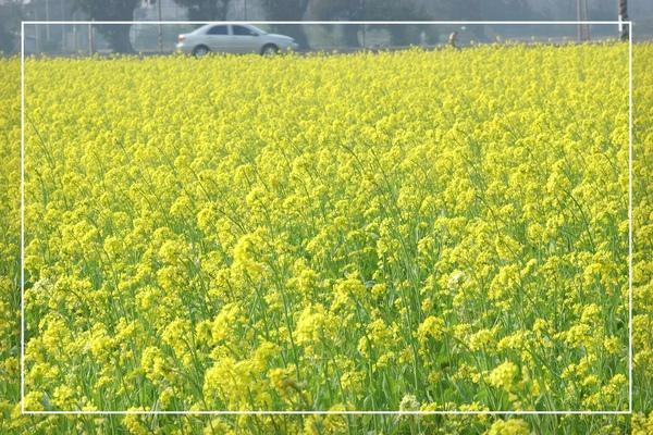 2010 油菜花 (38).jpg