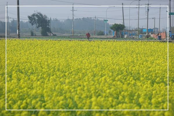 2010 油菜花 (41).jpg