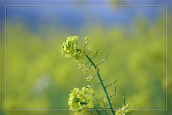 2010 油菜花 (44).jpg