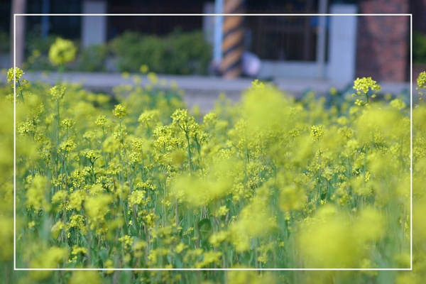 2010 油菜花 (47).jpg