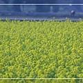 2010 油菜花 (50).jpg