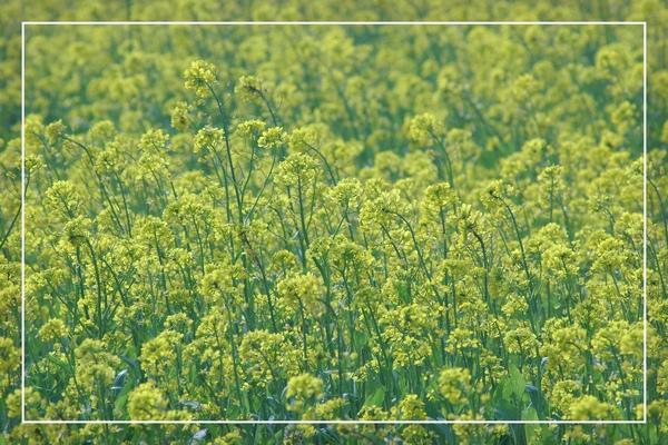 2010 油菜花 (55).jpg