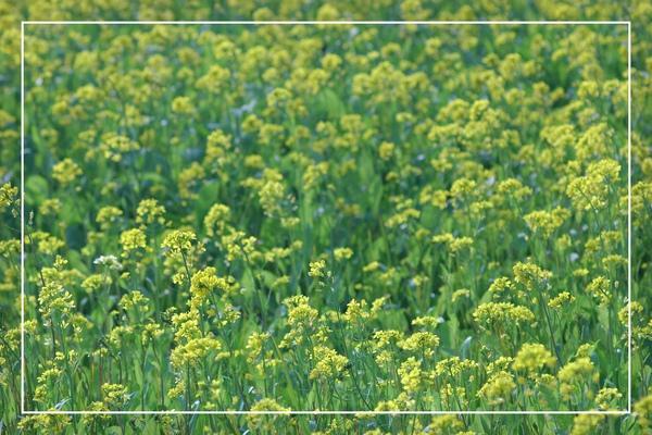 2010 油菜花 (56).jpg