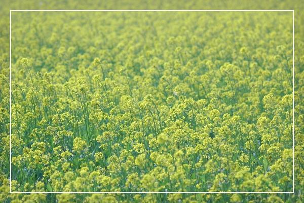 2010 油菜花 (57).jpg