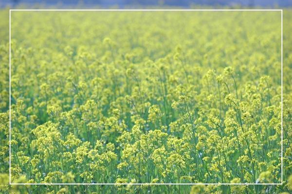 2010 油菜花 (58).jpg