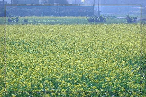 2010 油菜花 (59).jpg