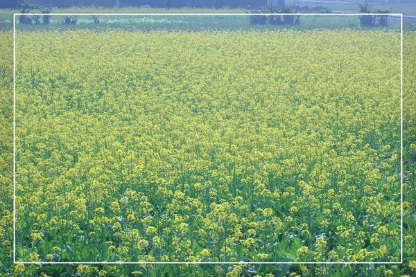 2010 油菜花 (60).jpg