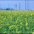 2010 油菜花 (63).jpg