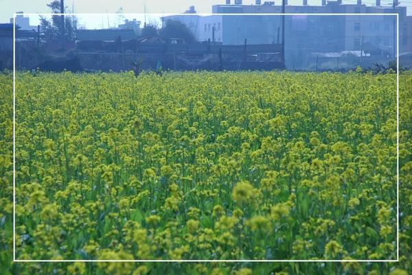 2010 油菜花 (64).jpg